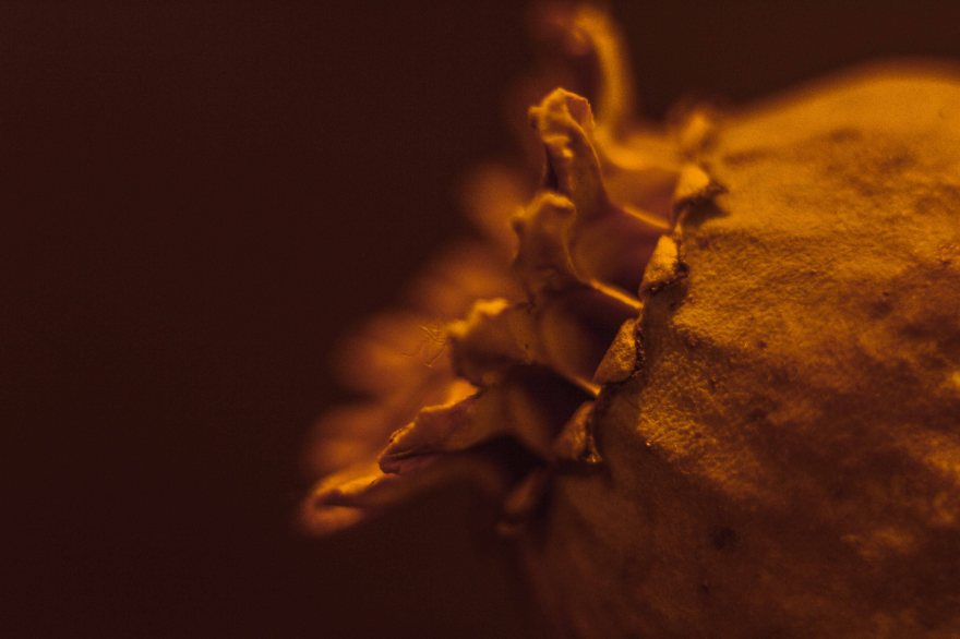 Macro shot of a flower bud with a sepia tone