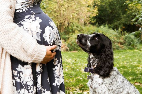 baby bump photo with spaniel staring at bump